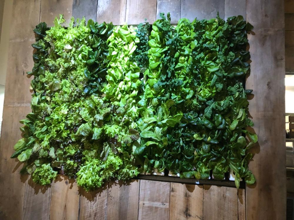 Hydroponic lettuce Wall